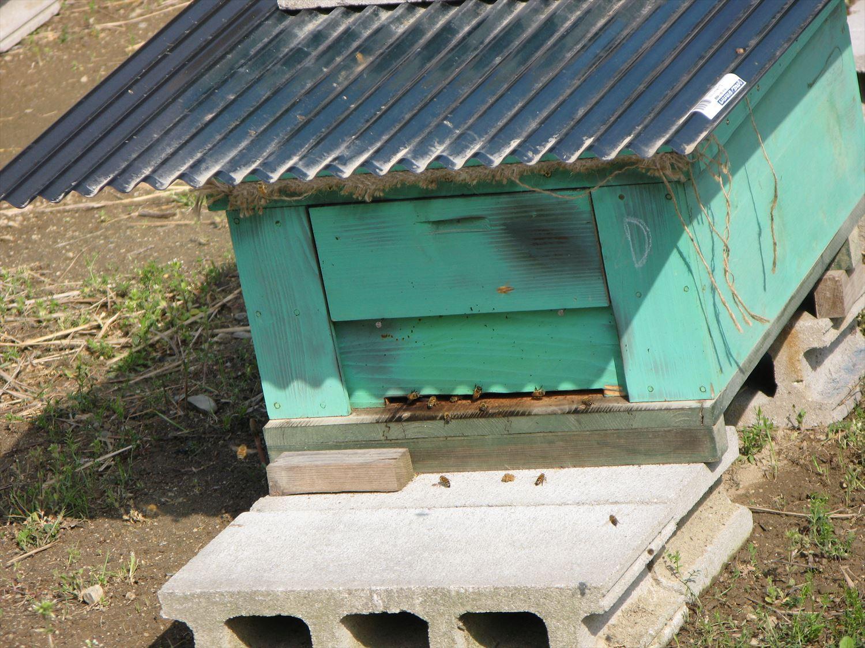 蜂箱からミツバチ1