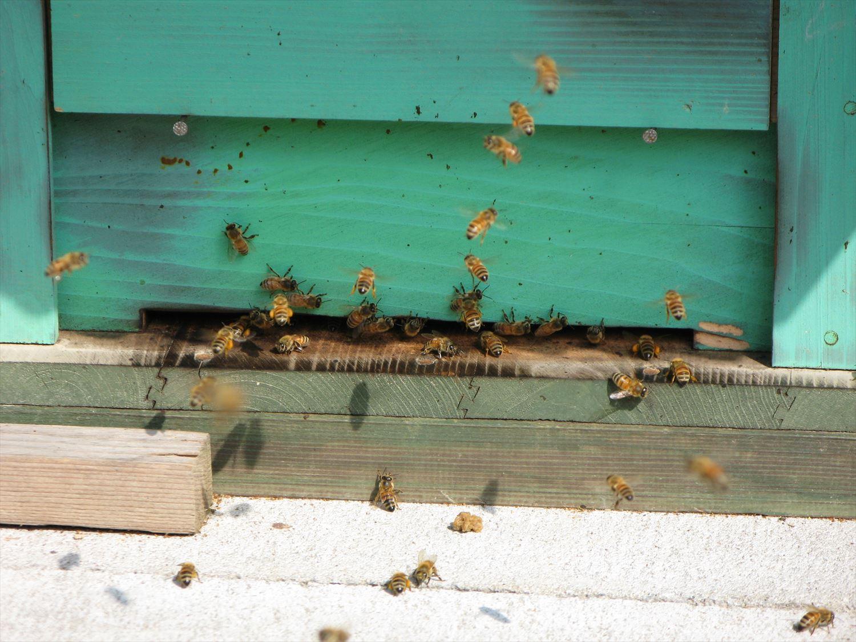 蜂箱からミツバチ2