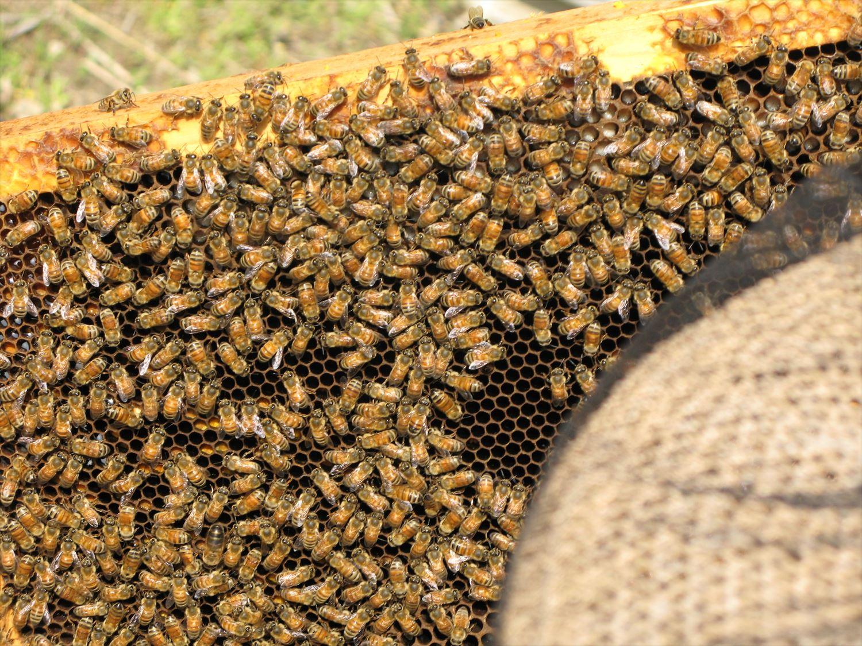 巣枠のミツバチ1