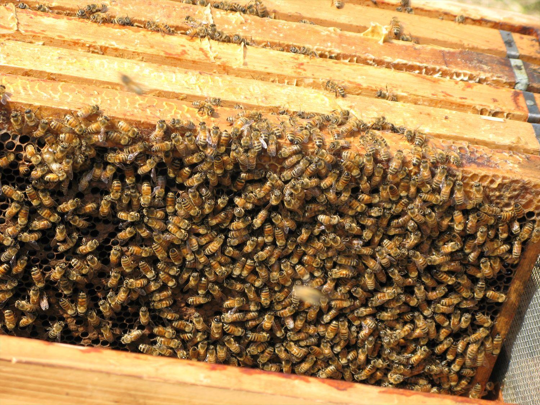 巣枠のミツバチ2