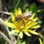 たんぽぽとミツバチ