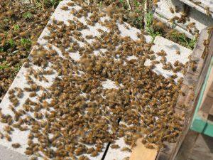 落ちた蜜蜂